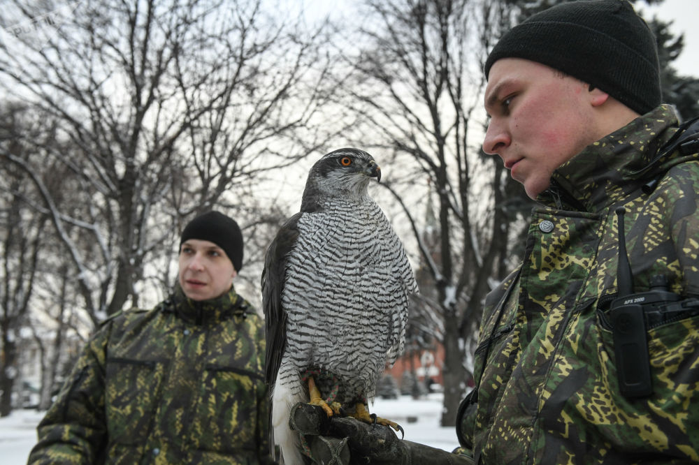 Jastrząb sokolniczej służby Moskiewskiego Kremla