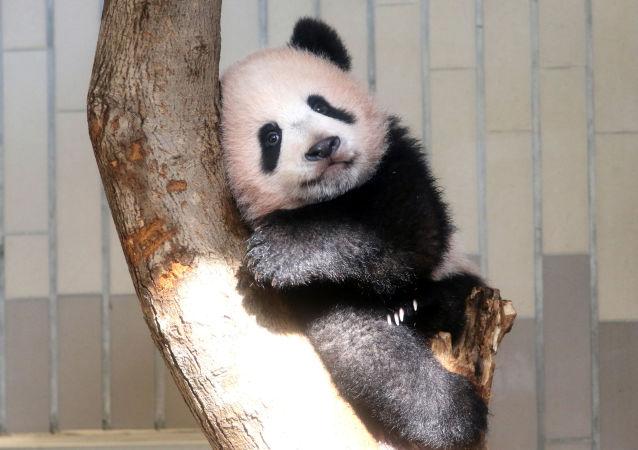 """Dziewczynka o imieniu Xiang Xiang (co oznacza """"aromat"""" lub """"wonność"""") urodziła się 12 czerwca."""