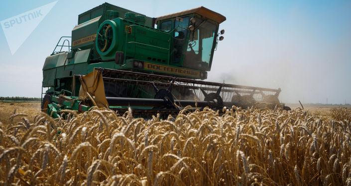 Żniwa pszenicy w Kraju Krasnodarskim