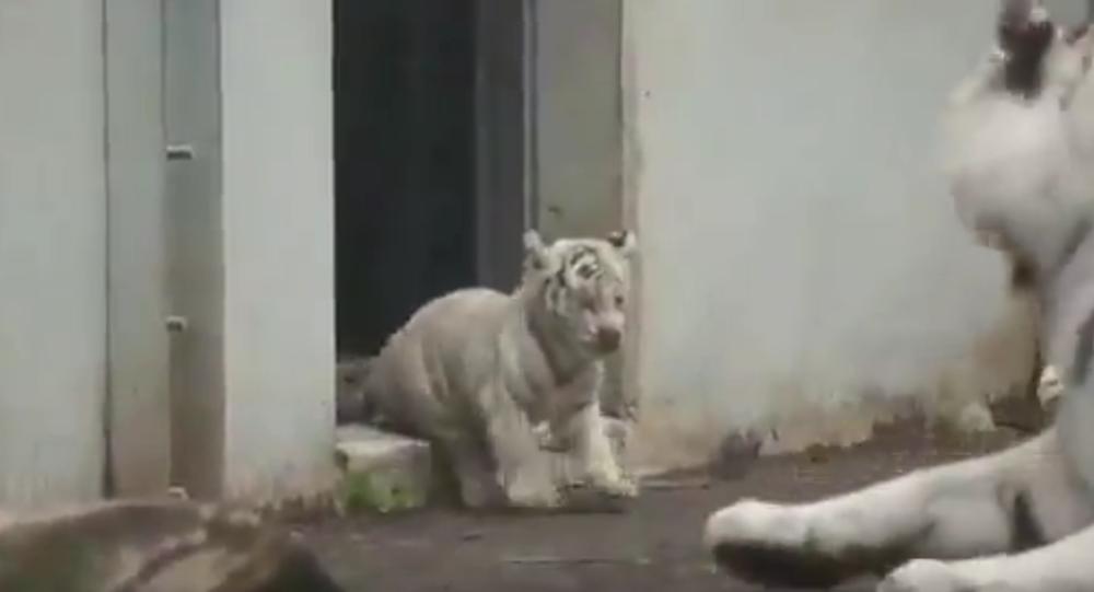 W Japonii tygrysek przestraszył dorosłego drapieżnika