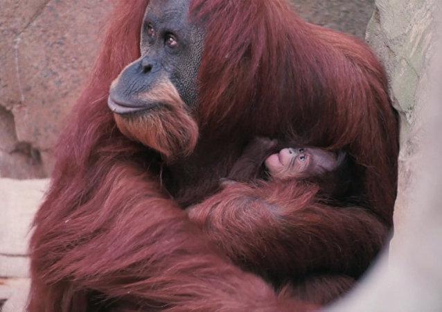 Orangutan sumatrzański