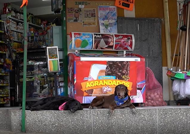 Siedmioletni labrador Eros już od 2 lat dostarcza produkty klientom minimarketu w Kolumbii.