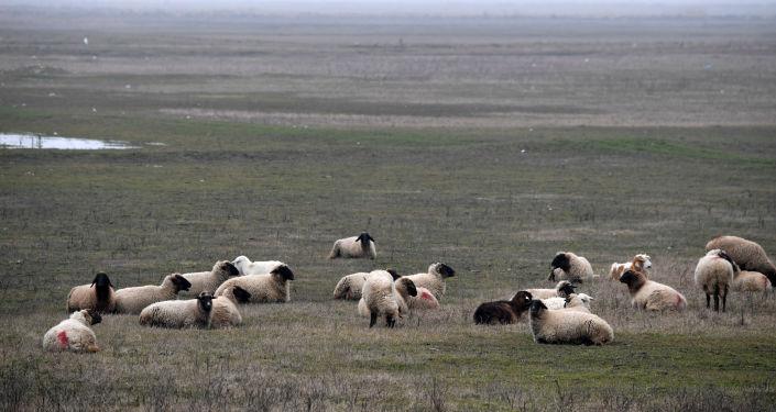 Owce na polu w pobliżu amerykańskiego systemu obrony przeciwrakietowej w Rumunii