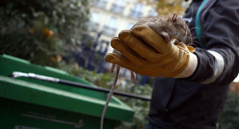 Pracownik służb komunalnych trzyma w ręce szczura w centrum Paryża. Zdjęcie archiwalne