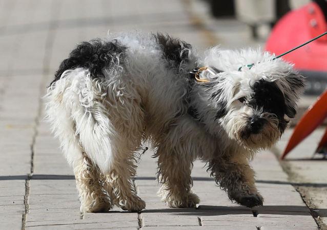 Pies na jednej z ulic w mieście Pjongczang w Republice Korei