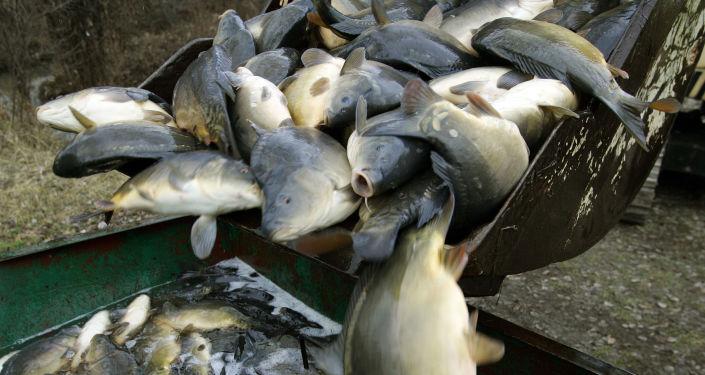 Karpie w zakładzie przetwórstwa rybnego w pobliżu Warszawy