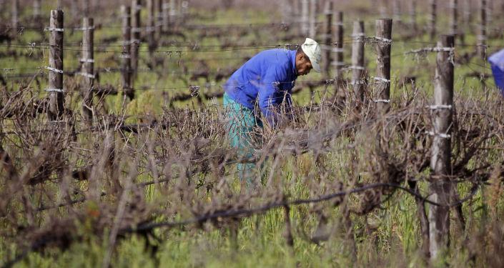 Rolnicy zbierają winogrona, RPA