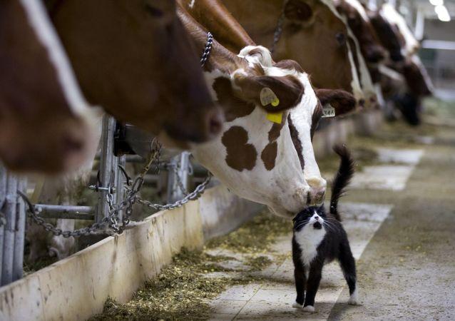 Krowy na farmie w miejscowości Granby w prowincji Quebec, Kanada