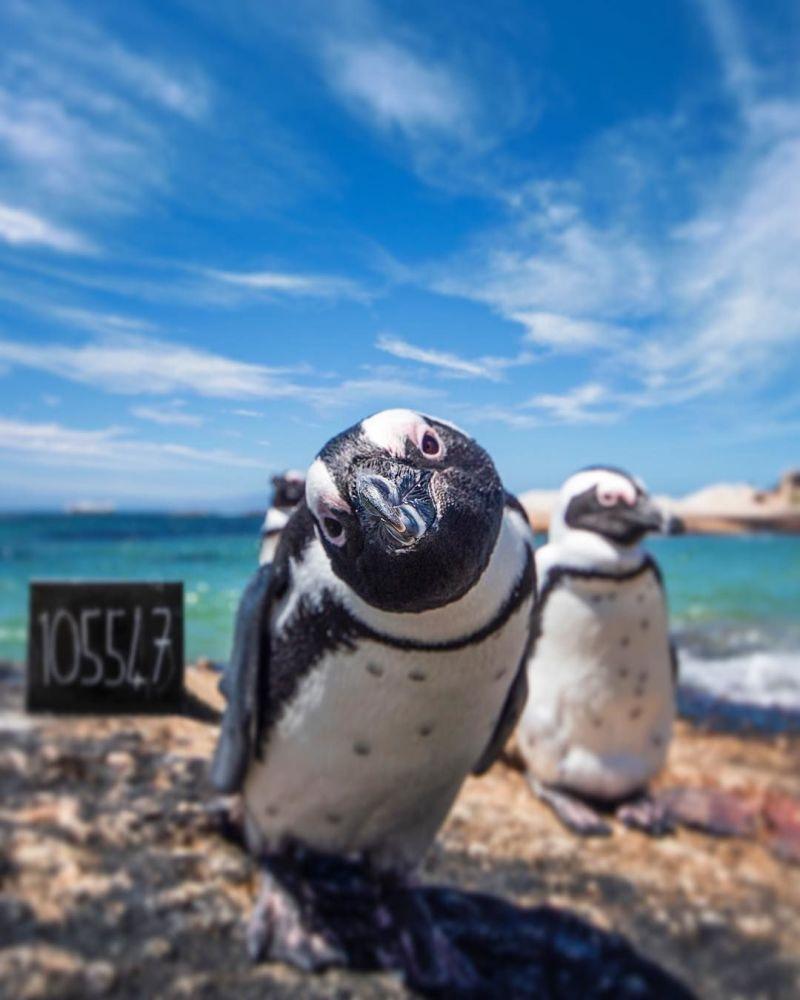Pingwiny w Południowej Afryce - fotografia dla projektu Jak daleko od domu
