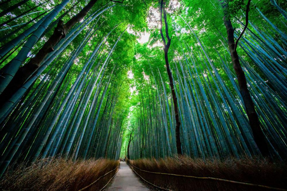 Bambusowy las w Japonii
