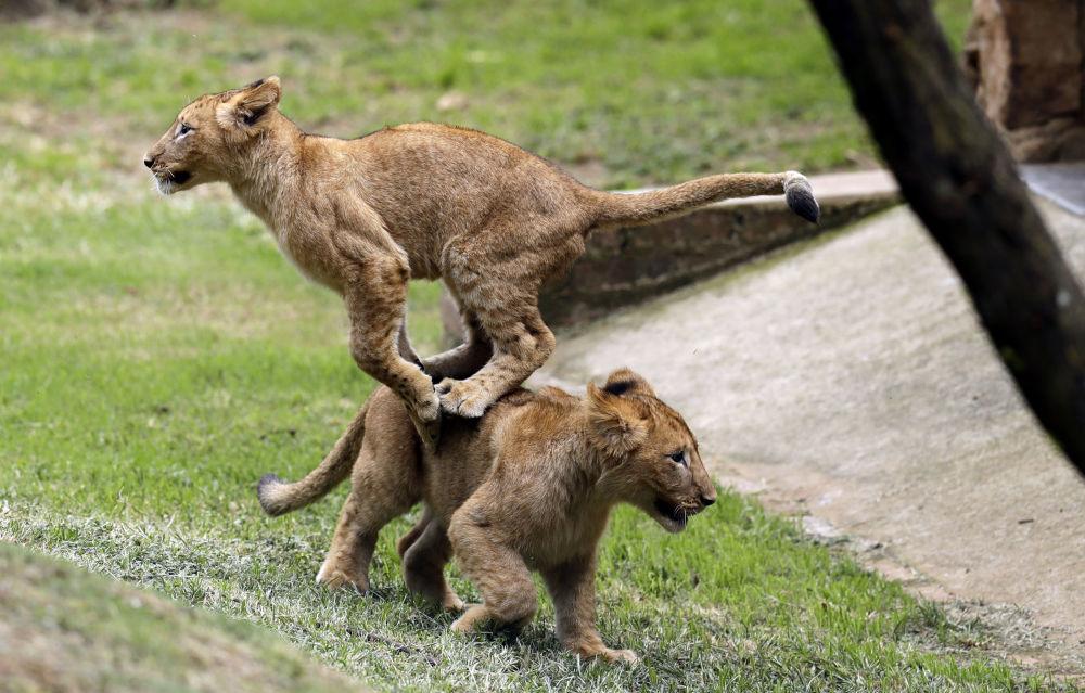 Małe lwy