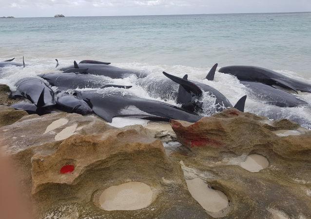 Definy wyrzucone na brzeg w Australii