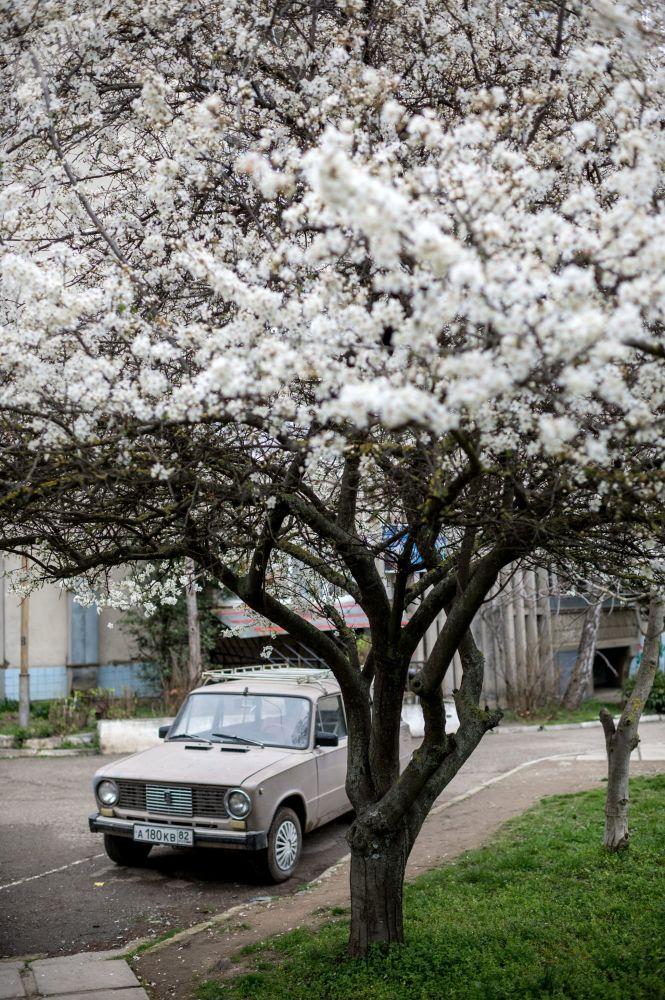 Kwitnąca wiśnia w Ałuszcie
