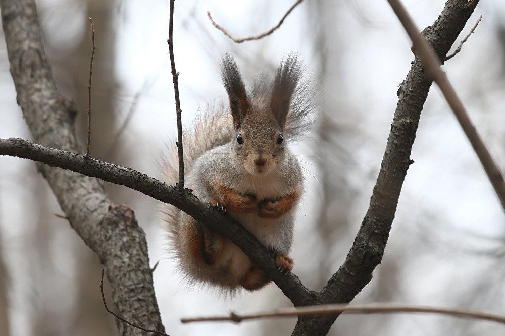 Wiewiórki czują się najbardziej komfortowo na dużej wysokości