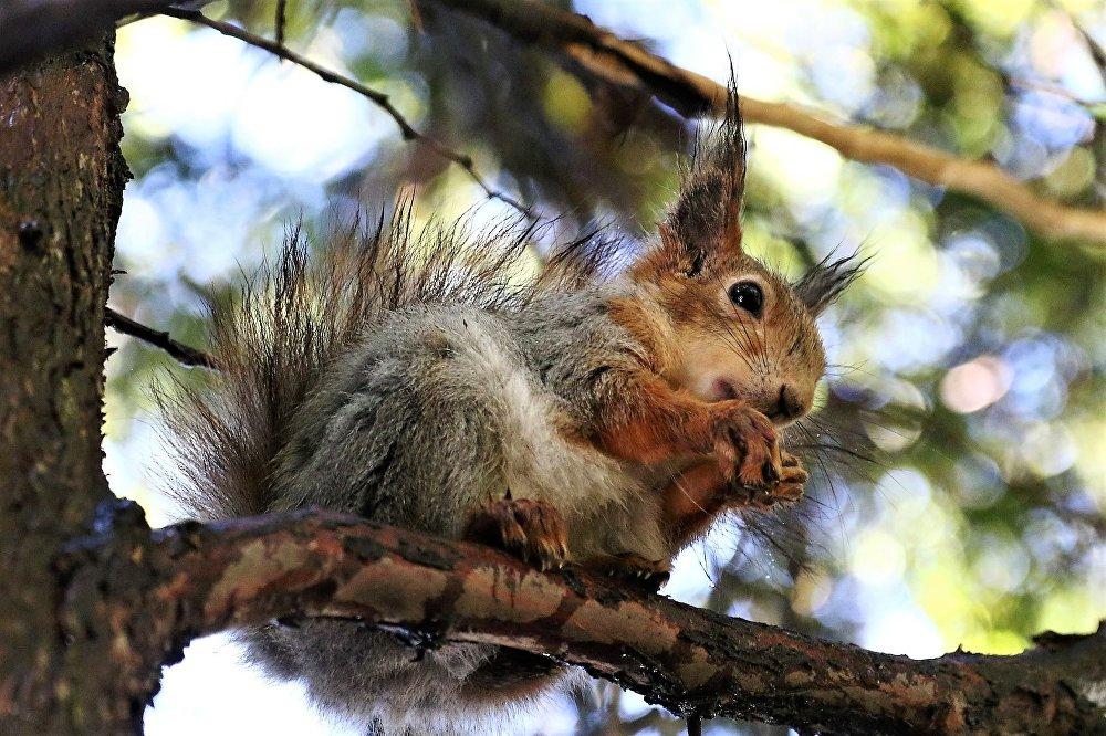 Moskiewska wiewiórka