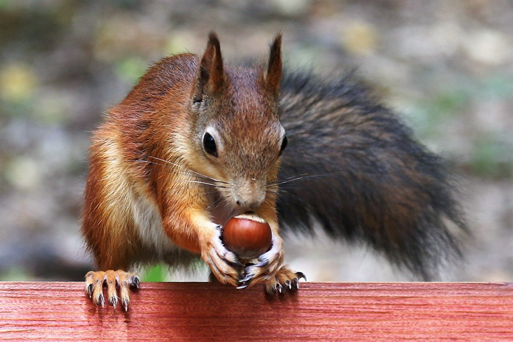 Wiewiórki uwielbiają orzechy laskowe