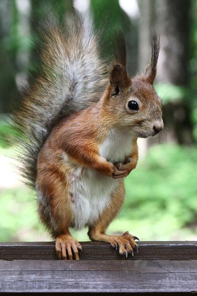Moskiewska wiewiórka z resztkami zimowego futerka. Wiosna nadchodzi!