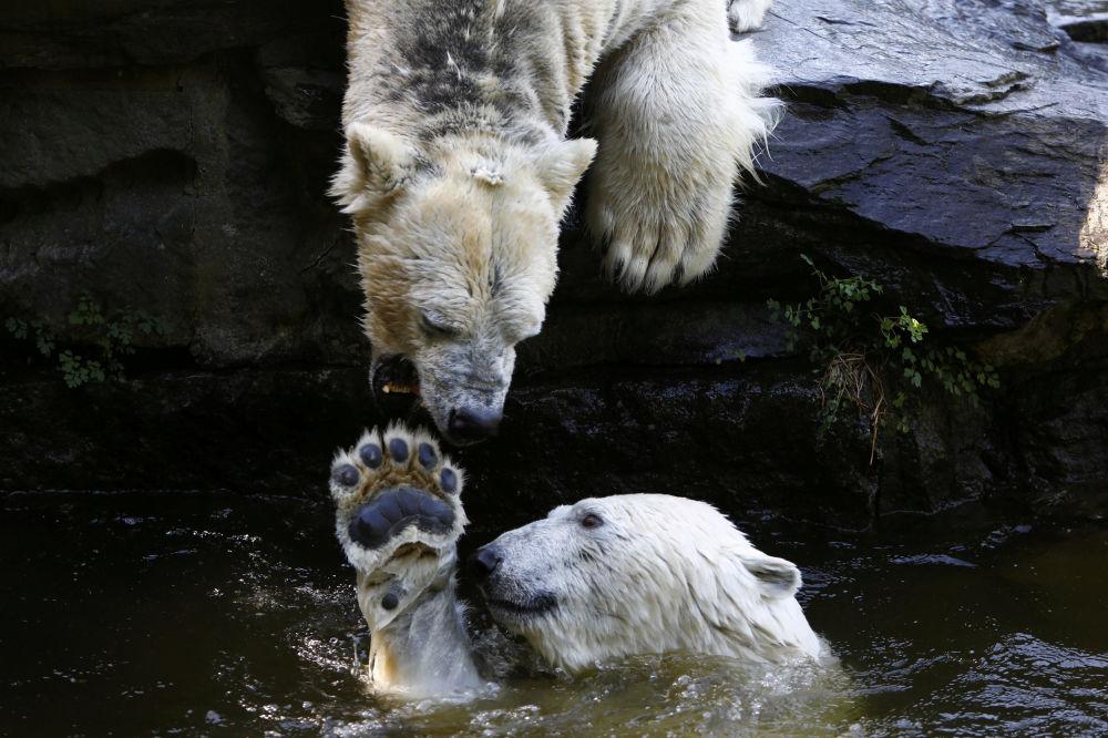 Niedźwiedzie polarne bawią się w wodzie w berlińskim ogrodzie zoologicznym
