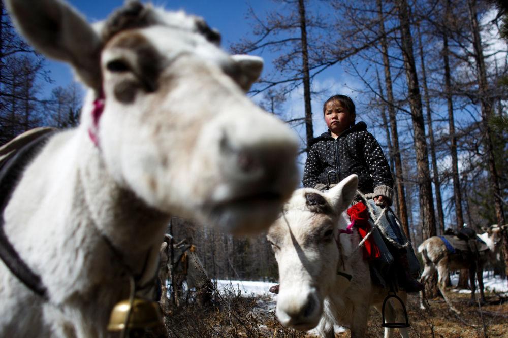 6-letnia mongolska dziewczynka obserwuje renifery