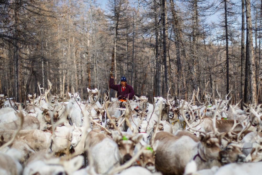 Mongolski koczownik pasie stado reniferów