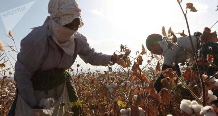 Zbieraczki bawełny w okolicach Aszchabada