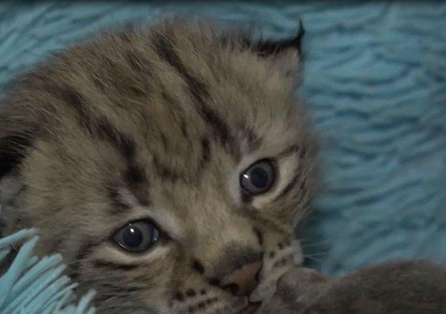 Kotka Monika z nadmorskiego zoo zastąpiła matkę rysiątku
