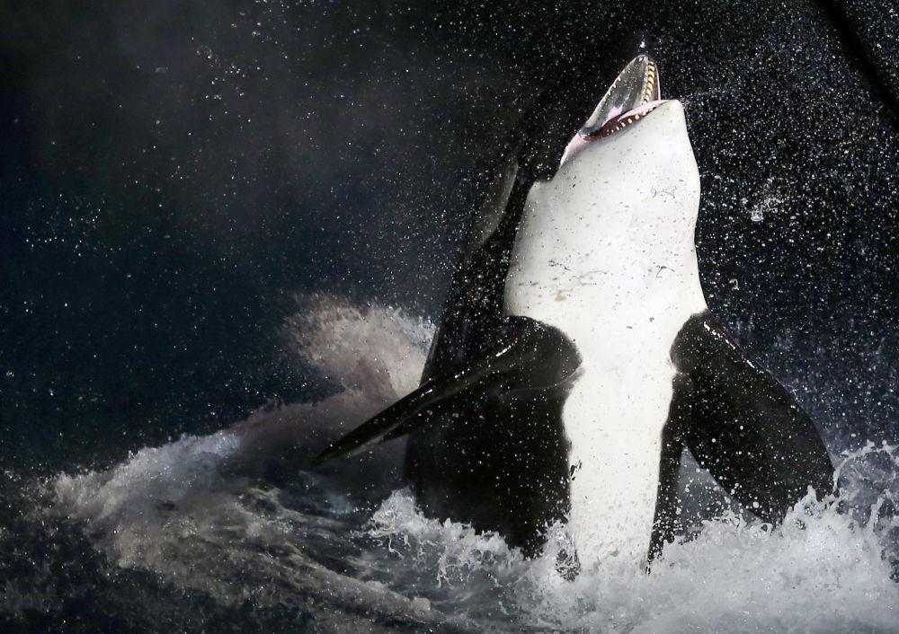 Orka oceaniczna