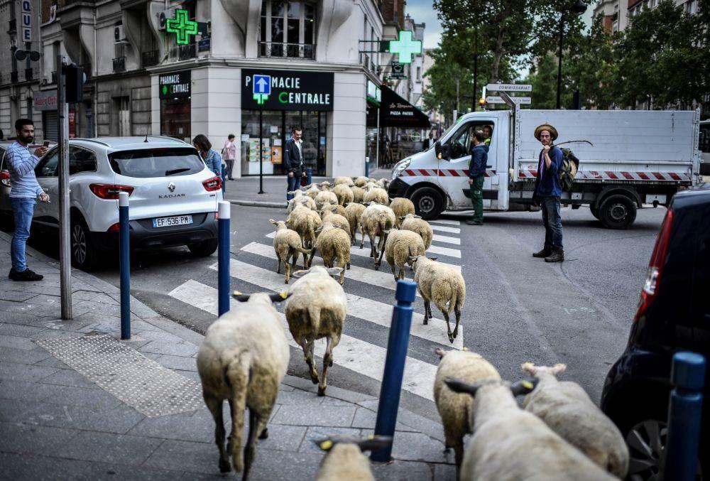 Rolnik ze stadem owiec na przedmieściach Paryża
