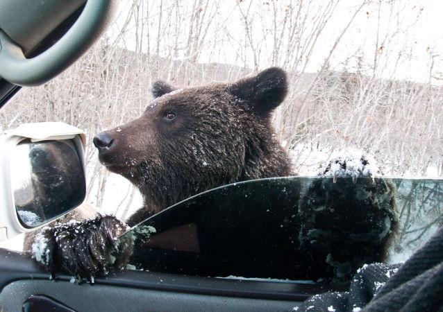 Niedźwiedź brunatny prosi o jedzenie na drodze w obwodzie sachalińskim
