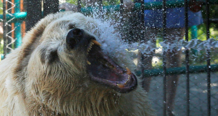 Niedźwiedź biały
