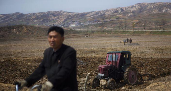 Prace rolnicze w Korei Północnej. Zdjęcie archiwalne