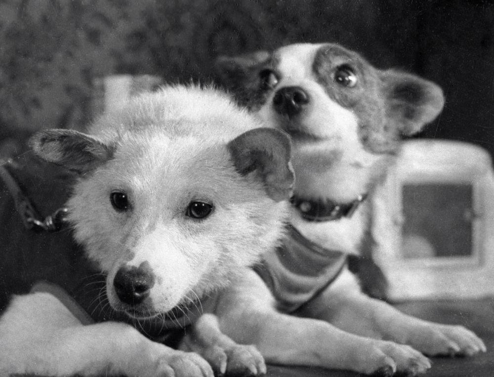 Radzieckie psy-kosmonauci Biełka i Striełka
