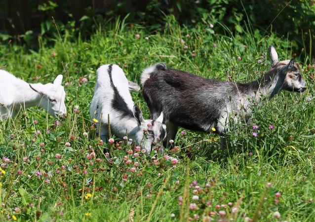 Kozy na wolnym wybiegu