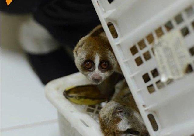 Lemur to nie zabawka!