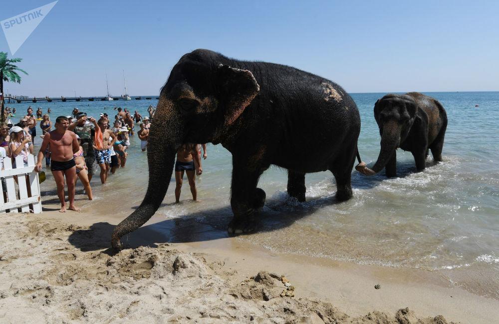 Kąpiel słoni w Morzu Czarnym. Eupatoria, Krym