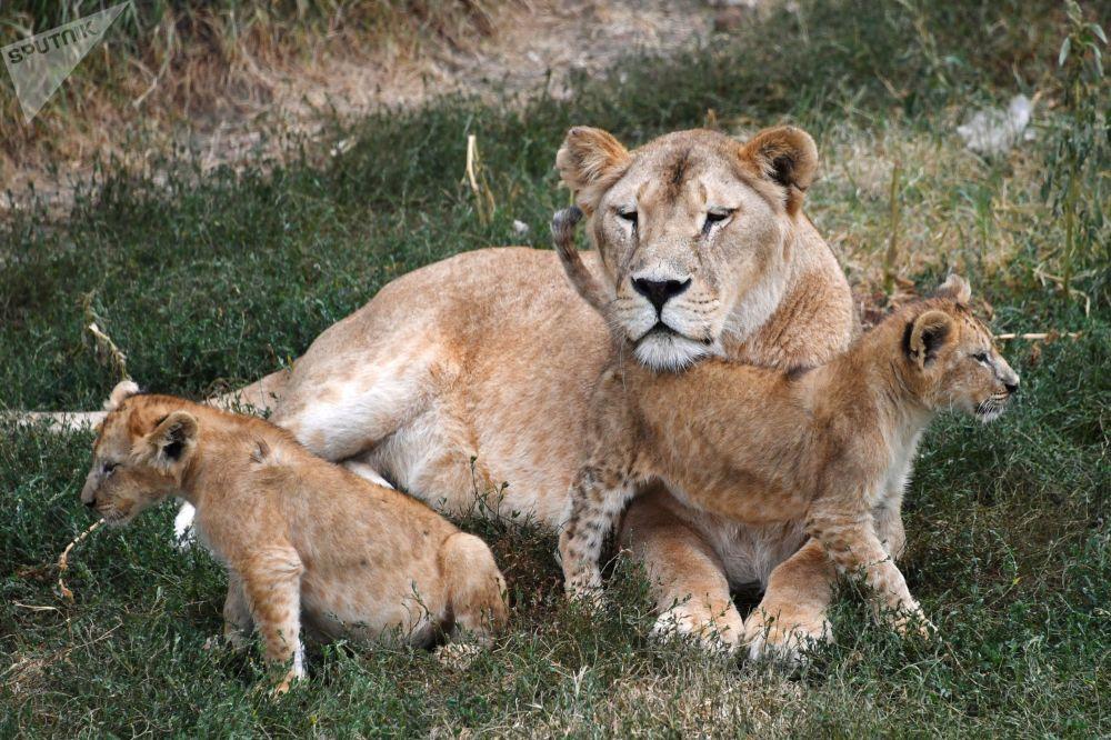 Lwy w krymskim parku safari Tajgan