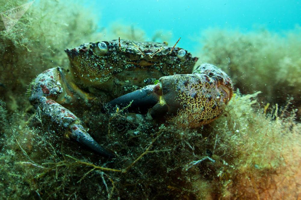 Krab czarnomorski