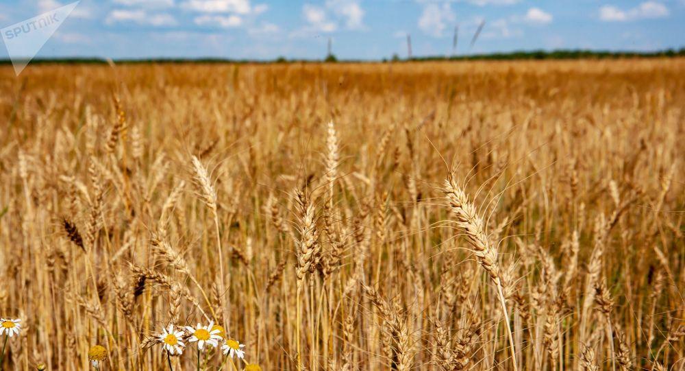 Pszenica na polu w obwodzie riazańskim