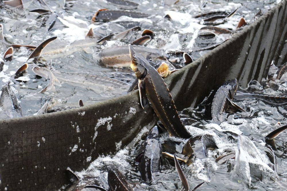 Hodowla ryb Tambowski jesiotr
