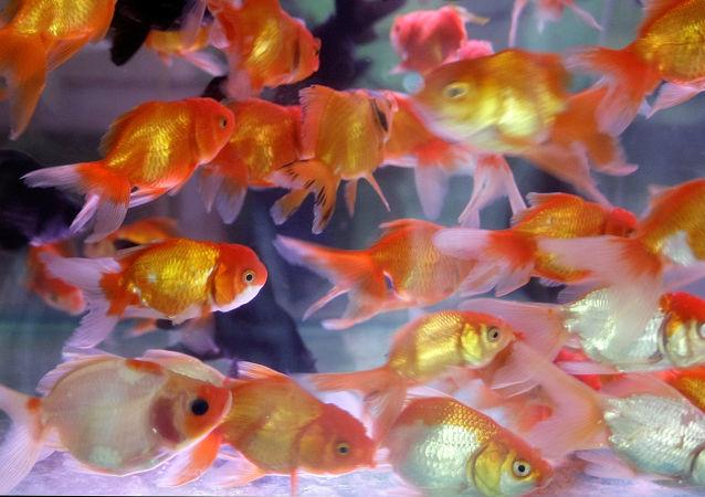 Złote rybki