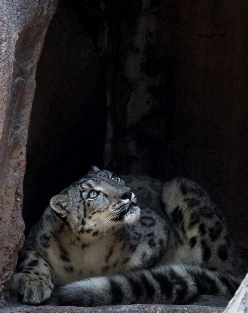 Pantera śnieżna w ogrodzie zoologicznym w Meksyku