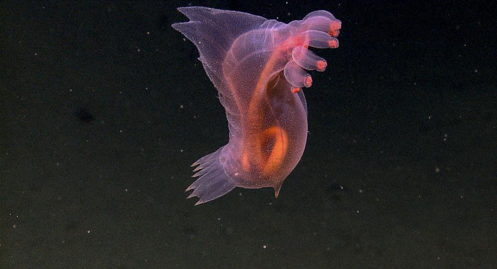 Ogórek morski, Enypniastes eximia