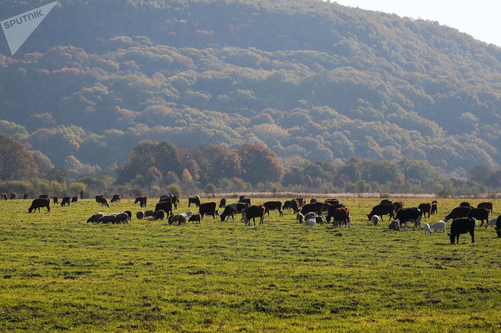 Krowy na patwisku w Republice Adygei