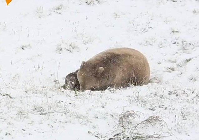 Wolny niedźwiedź