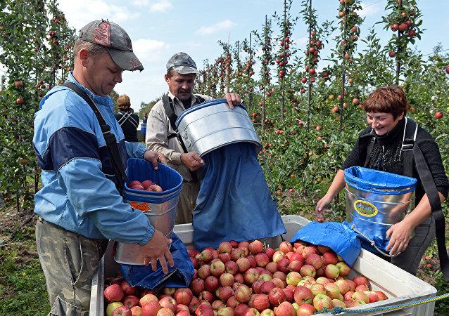 Polskie jabłka
