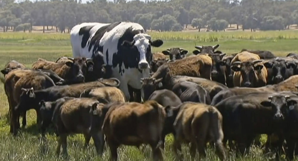 Największy byk w Australii Knickers