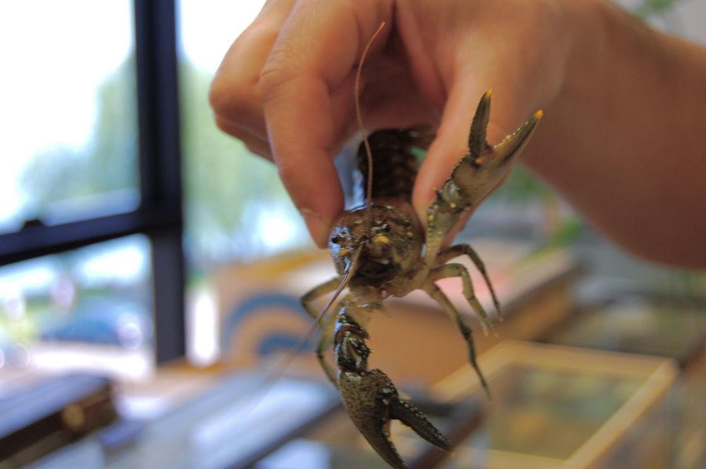 Rak Orconectes rusticus