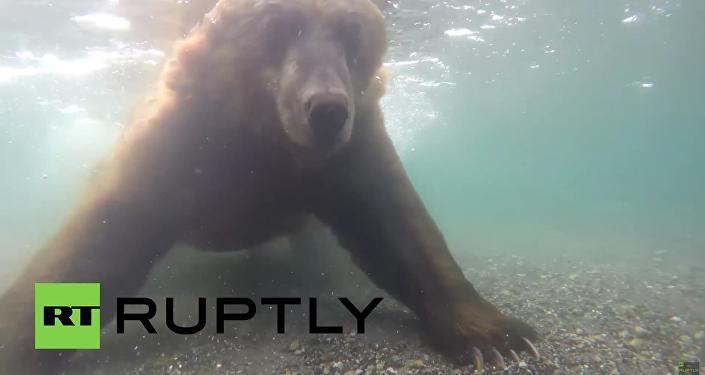 Unikalne wideo: Niedźwiedź łowi ryby na Kamczatce