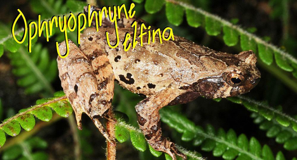 Nowy gatunek żaby Ophryophryne elfina, odnaleziony przez naukowców w Wietnamie