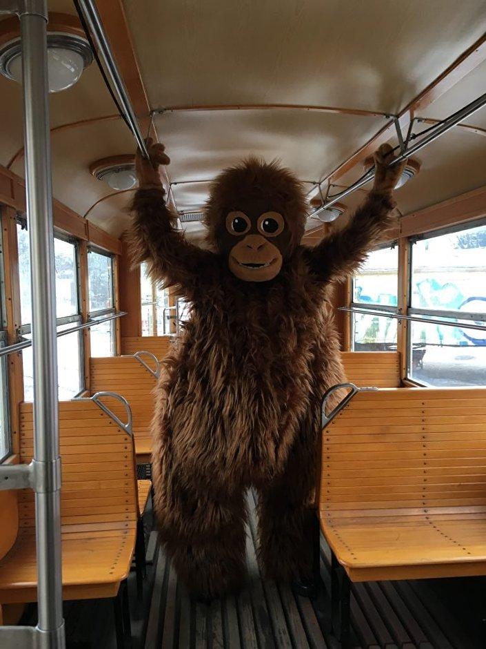 Dwumetrowa pluszowa maskotka orangutanicy Raji na pokładzie tramwaju świątecznego w Gdańsku